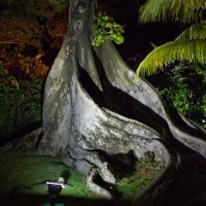 Cotton tree at night
